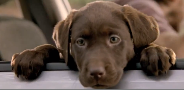 Are Chocolate Labs Good Family Dogs